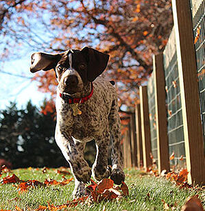 pointer puppy running outside
