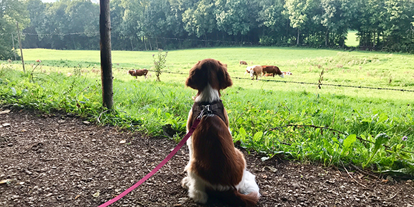 puppy-socialization-walk-seeing-cows