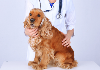 red cocker spaniel sitting on table being examined by veterinarian
