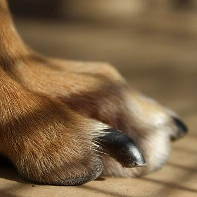right length of nail for a dog