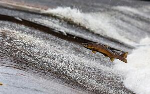 salmon-jumping
