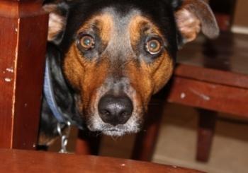 scared shepherd mix dog hiding under table