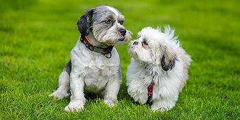 second-dog-shih-tzu-puppy-600