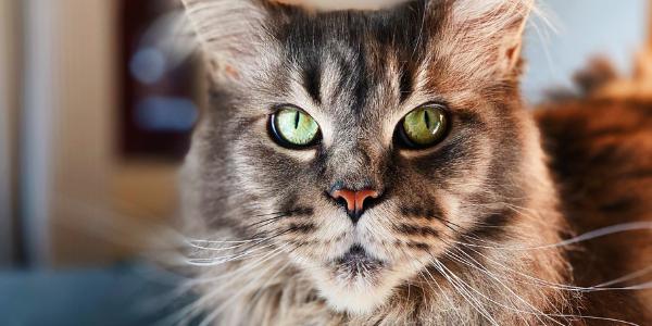 senior-cat-with-arthritis