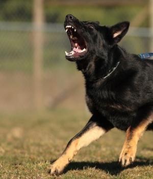 shepherd dog on prong collar barking