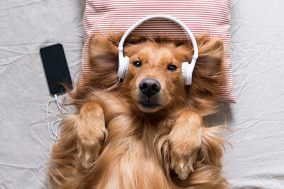 golden-retriever-dog-listening-to-music