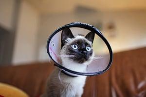 siamese-cat-wearing-cone
