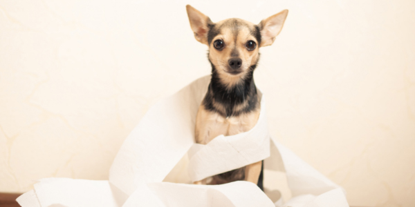 small black and tan chihuahua wrapped in toilet paper