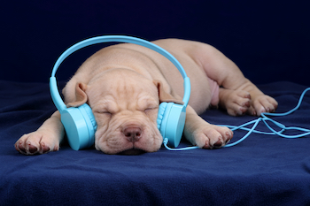 small puppy sleeping while wearing blue headphones