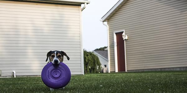 small terrier holding fetch frisbee in backyard 600