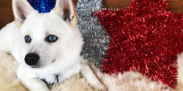 small white dog with blue eyes resting in front of red white and blue 4th of July star decorations