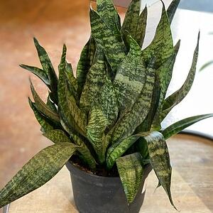 snake plant toxic to cats
