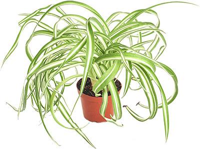 spider plant safe for pets
