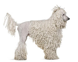 standard-white-poodle-corded-coat