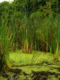 swamp-water-algae