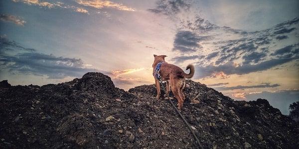 tan dog on long leash hike overlooking sunset