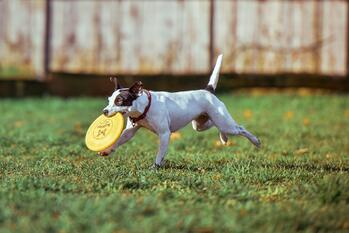 Dog Off Leash With Frisbee