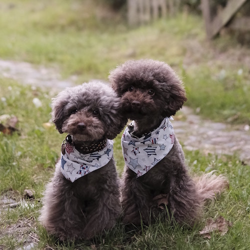 the-poodles