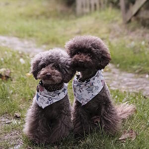 poodles sitting patiently