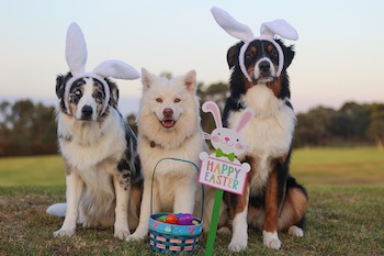 three medium dogs sit outside posing in easter bunny ears and with easter basket
