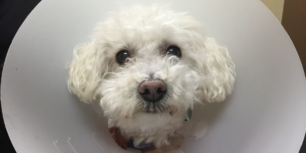 toy poodle wearing a cone at the vet