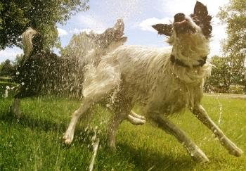 two border collies leaping through sprinkler