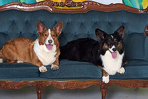 two-corgis-on-couch-350