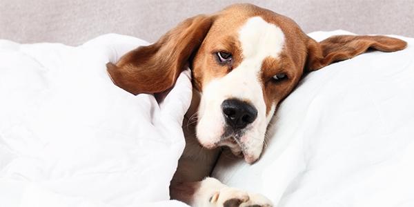 vomit vs regurge sick dog