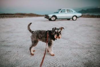 dog-leash-schnauzer