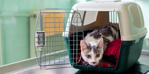 white and grey cat peeking out of open cat carrier