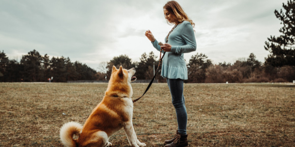 woman training her akita dog to sit for a treat