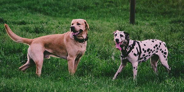 yellow lab and dalmation playing together in daycare yard