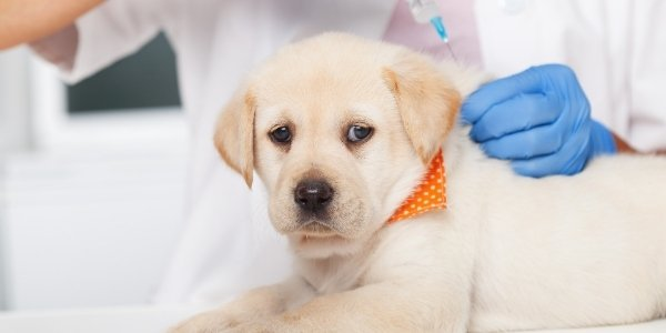 yellow lab puppy getting vaccination shot