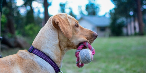 yellow lab with fetch toy in mouth