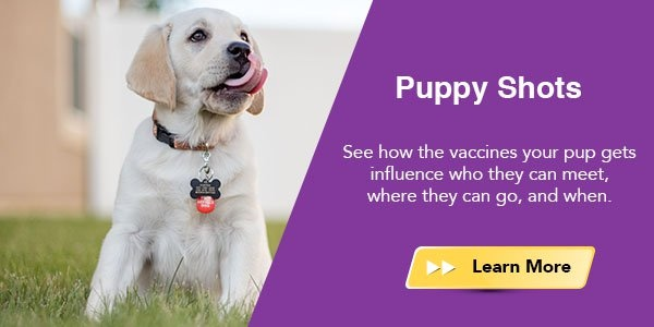 Puppy shots - see how the vaccines your pup gets influence who they can meet, where they can go, and when.