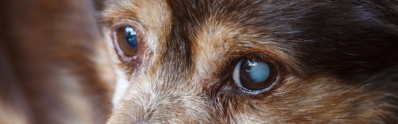 Cataract-Dog-Cloudy-Eyes