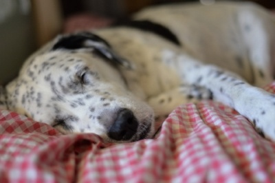 Dalmatian-dog-sleeping.jpg