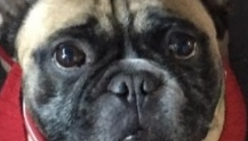 Frenchie-nostrils-close-up.jpg