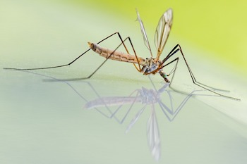 Can Dogs Get West Nile Virus From Mosquitoes