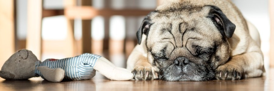 Pug-sleeping-adjustment-period.jpg