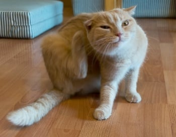 Safe Cat Flea Treatments & the Danger of Pyrethrin and