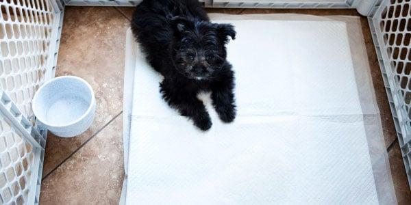 Puppy on a pee pad